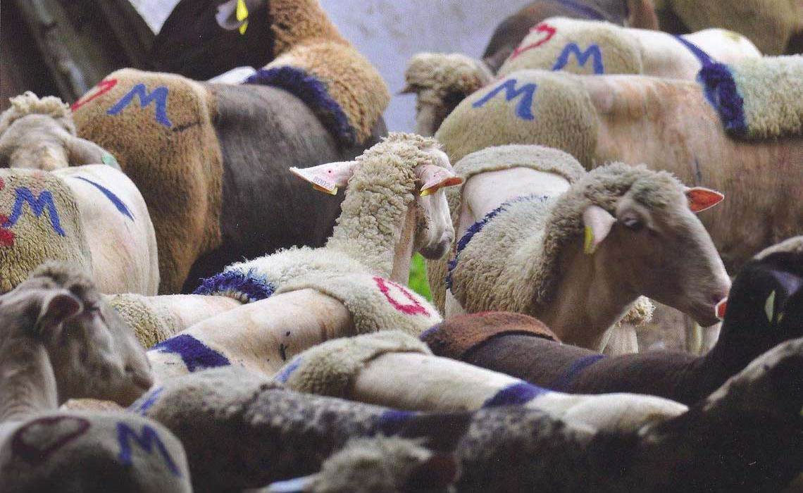Transhumance towards pastures